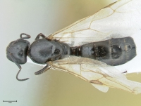 Camponotus aethiops, Königin, dorsal