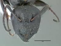 Camponotus aethiops, Königin, frontal