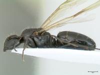 Camponotus aethiops, Königin, lateral