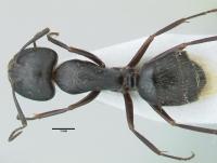 Camponotus aethiops, große Arbeiterin, dorsal