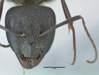 Camponotus aethiops, große Arbeiterin, frontal