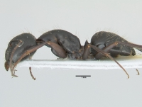 Camponotus aethiops, große Arbeiterin, lateral