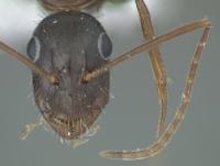Camponotus aethiops, kleine Arbeiterin, frontal