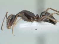Camponotus aethiops, kleine Arbeiterin, lateral