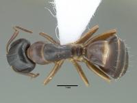 Camponotus fallax, große Arbeiterin, dorsal