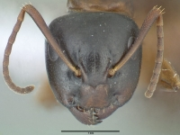 Camponotus fallax, große Arbeiterin, frontal