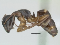 Camponotus fallax, große Arbeiterin, lateral