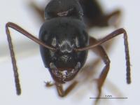 Camponotus fallax, kleine Arbeiterin, frontal
