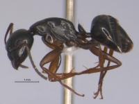 Camponotus fallax, kleine Arbeiterin, lateral