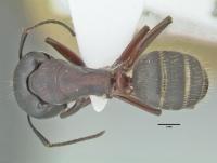 Camponotus herculeanus, große Arbeiterin, dorsal
