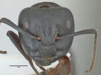 Camponotus herculeanus, große Arbeiterin, frontal