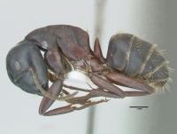 Camponotus herculeanus, große Arbeiterin, lateral