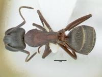 Camponotus herculeanus, kleine Arbeiterin, dorsal