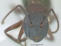 Camponotus herculeanus, kleine Arbeiterin, frontal