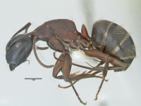 Camponotus herculeanus, kleine Arbeiterin, lateral