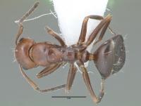 Camponotus lateralis, Arbeiterin, dorsal