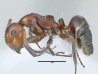 Camponotus lateralis, Arbeiterin, lateral