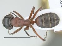 Camponotus ligniperdus, große Arbeiterin, dorsal