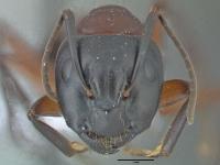 Camponotus ligniperdus, große Arbeiterin, frontal
