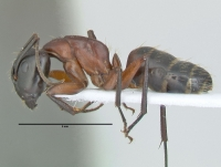 Camponotus ligniperdus, große Arbeiterin, lateral