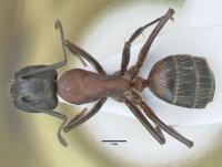 Camponotus ligniperda, kleine Arbeiterin, dorsal