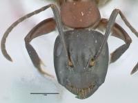 Camponotus ligniperdus, kleine Arbeiterin, frontal