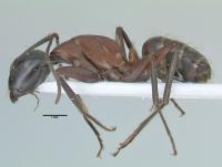 Camponotus ligniperdus, kleine Arbeiterin, lateral