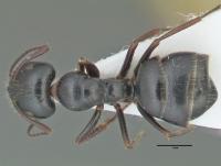 Camponotus piceus, große Arbeiterin, dorsal