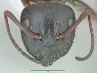 Camponotus piceus, große Arbeiterin, frontal