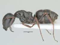 Camponotus piceus, große Arbeiterin, lateral