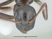 Camponotus piceus, kleine Arbeiterin, frontal