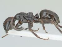 Camponotus piceus, kleine Arbeiterin, lateral