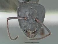 Camponotus piceus, Königin, frontal
