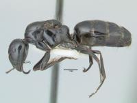 Camponotus piceus, Königin, lateral