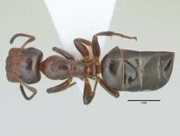 Camponotus truncatus, große Arbeiterin, dorsal