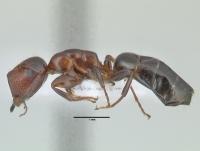 Camponotus truncatus, große Arbeiterin, lateral