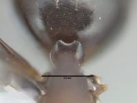 Camponotus truncatus, Oberkante des Petiolus bei der Arbeiterinnenmorphe
