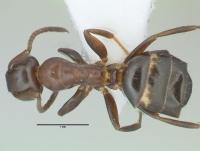 Camponotus truncatus, kleine Arbeiterin, dorsal