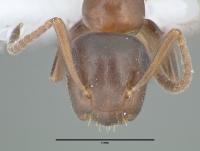Camponotus truncatus, kleine Arbeiterin, frontal
