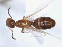 Camponotus truncatus, Königin, dorsal