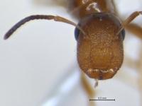 Camponotus truncatus, Königin, frontal