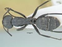 Camponotus vagus, große Arbeiterin, dorsal