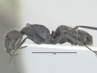 Camponotus vagus, große Arbeiterin, lateral