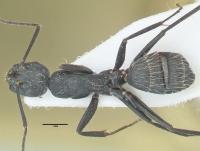 Camponotus vagus, kleine Arbeiterin, dorsal