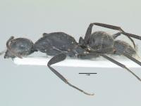 Camponotus vagus, kleine Arbeiterin, lateral