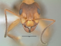 Formica exsecta, Arbeiterin, frontal