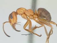 Formica exsecta, Arbeiterin, lateral