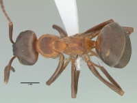 Formica polyctena, Arbeiterin, dorsal