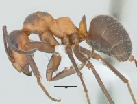 Formica pratensis, Arbeiterin, lateral