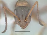 Formica rufibarbis, Arbeiterin, frontal